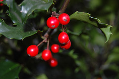 holly bush red green